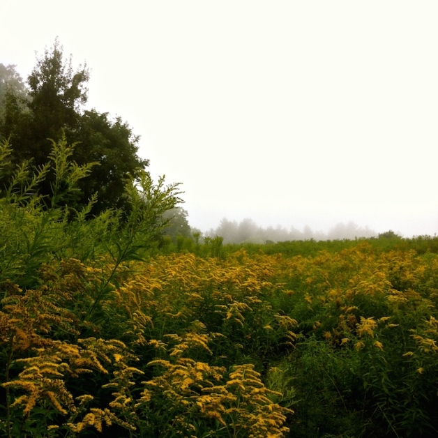 goldenrod fog guilford vt aug 2015