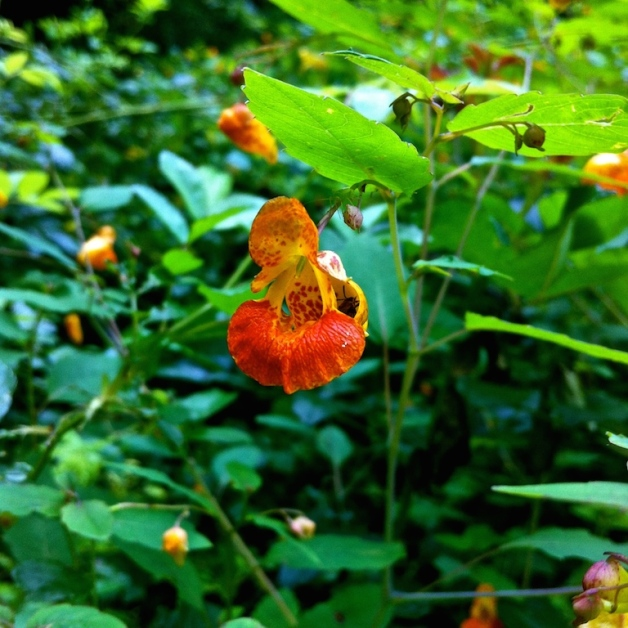 jewelweed leyden ma 2015