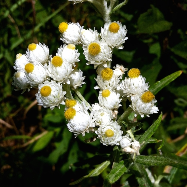 pearly everlasting searsburg vt 2015