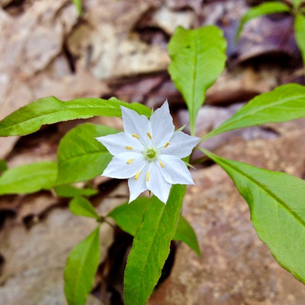 starflower wantastiquet may 2016