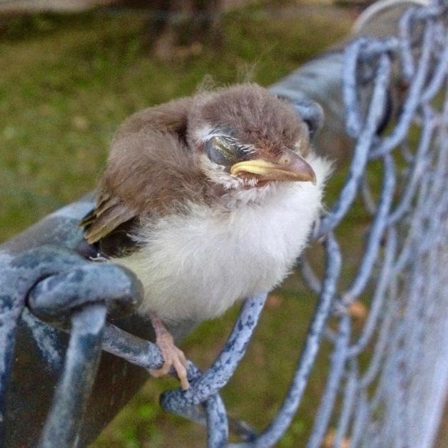 least flycatcher fledgling july 2016