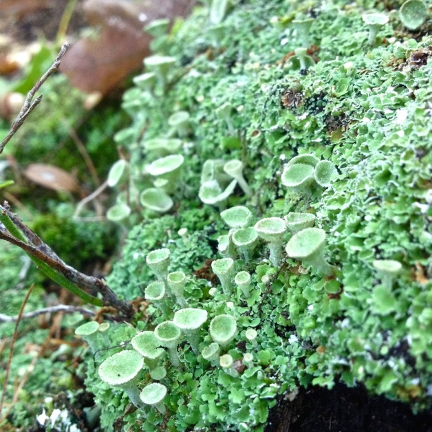 cup-lichen-wantastiquet-september