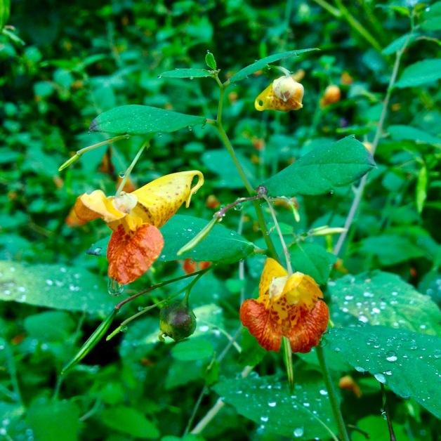 jewelweed-retreat-meadows