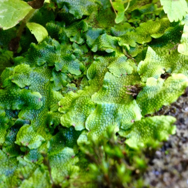 liverwort-green-river-ma