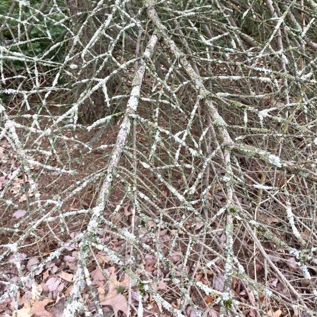 spruce boughs lichen brattleboro 2018